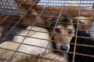 Yulin Dog Meat Festival The Fussy Curator #fussysg humane society international washington post